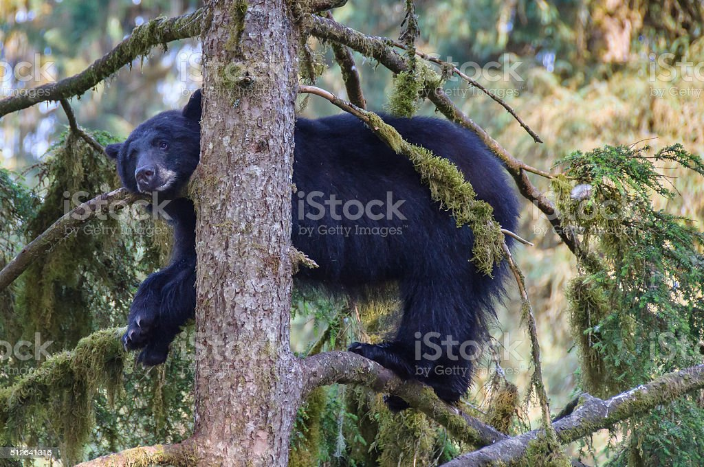 Black Bear Close Up in Forest Tree stock photo
