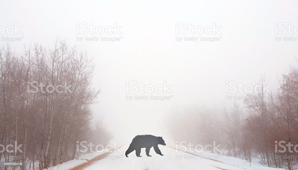 Black bear crossing a rural road in fog- winter snow stock photo