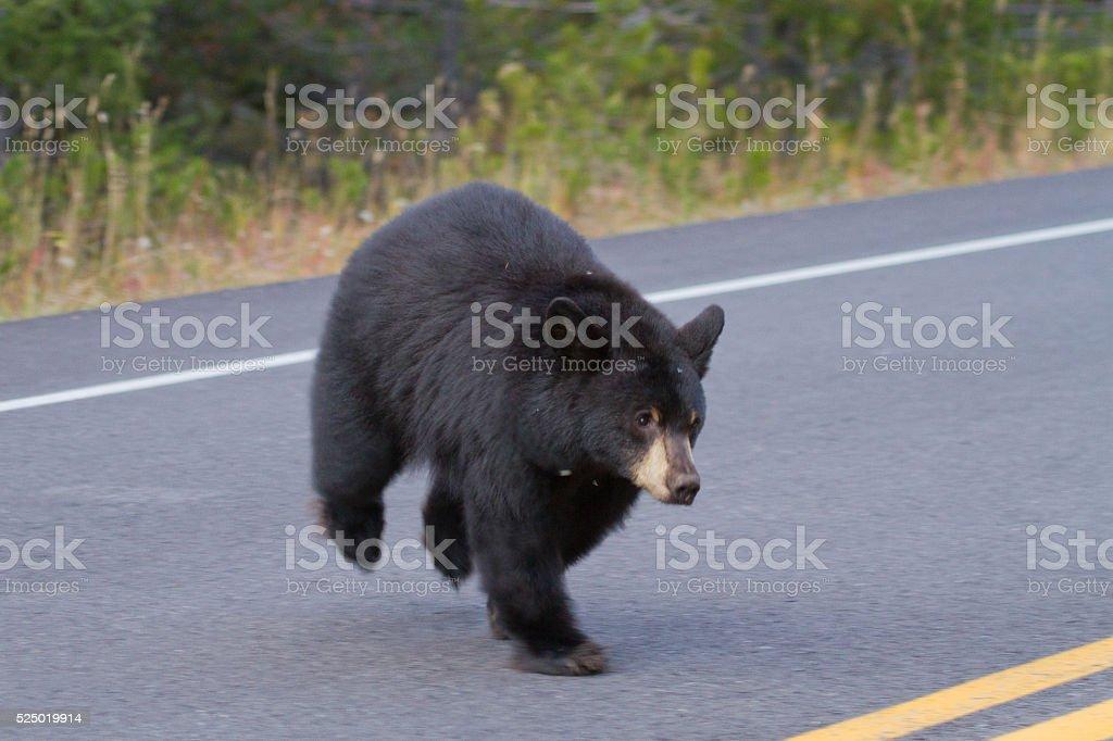 Black Bear Crossing Road stock photo
