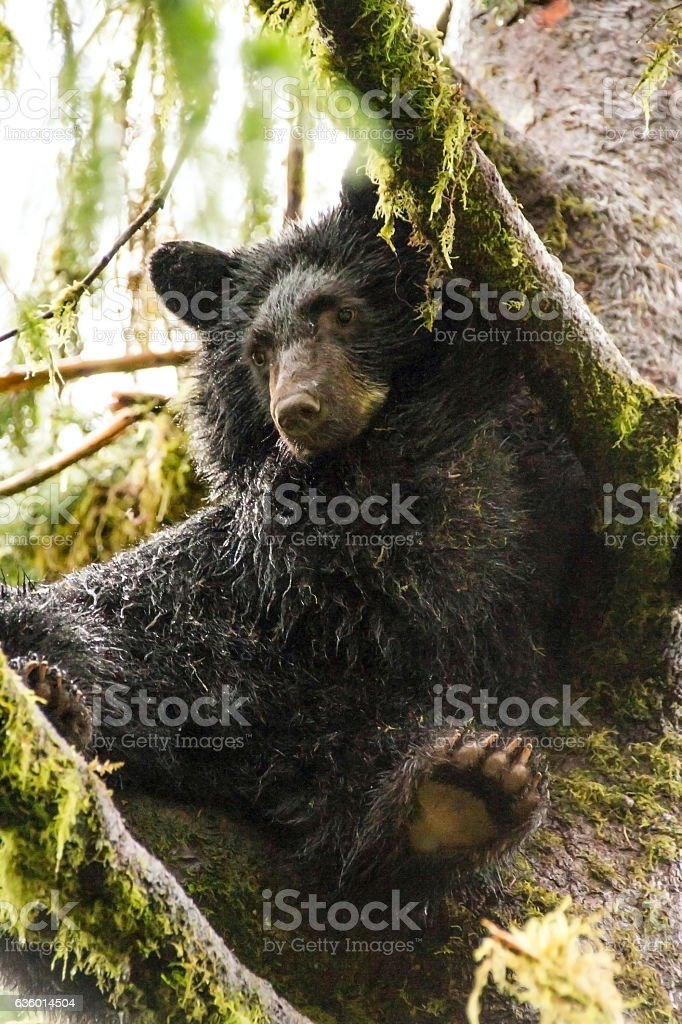 Black Bear Cub Chilling in a Spruce stock photo