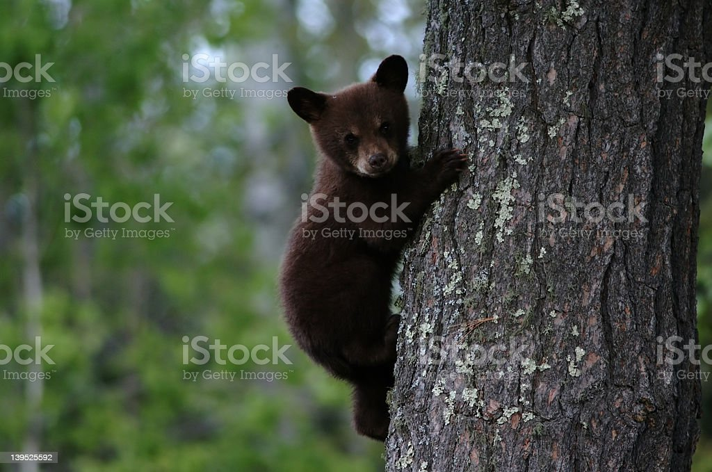 Black bear cub climbing a tree royalty-free stock photo