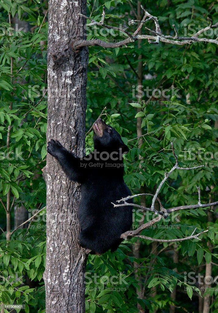Black bear cub climbs a tree royalty-free stock photo