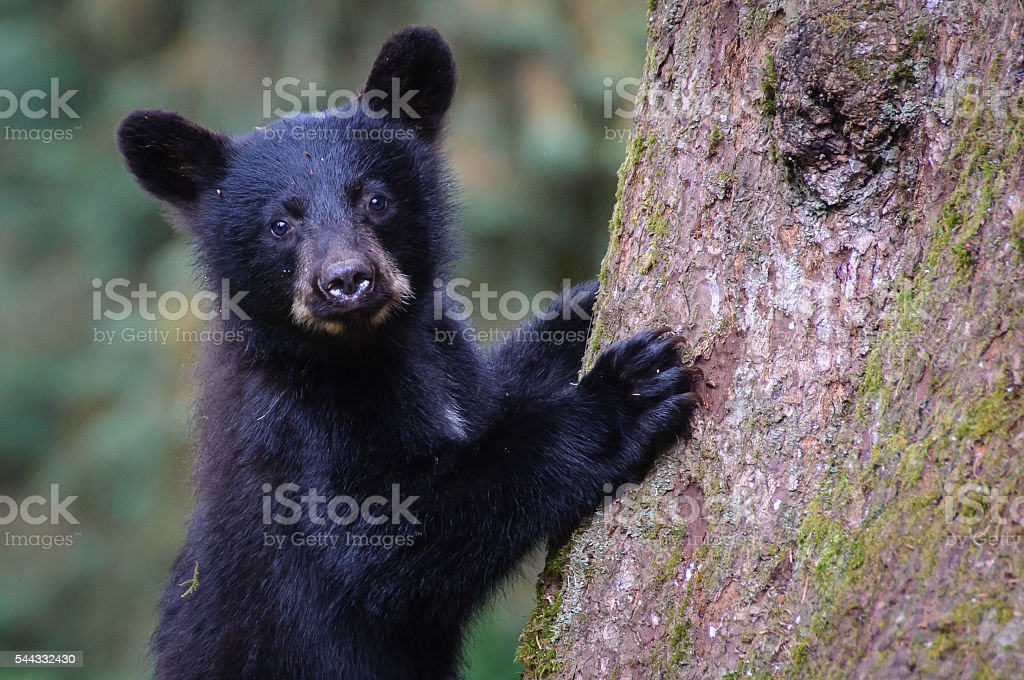 Black Bear Cub Close Up Looking at Camera Climbing Tree stock photo