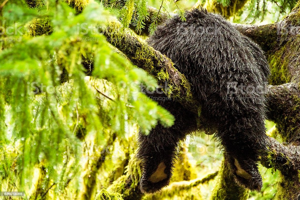 Black Bear Cub Hanging Out in the Tongass National Rainforest stock photo