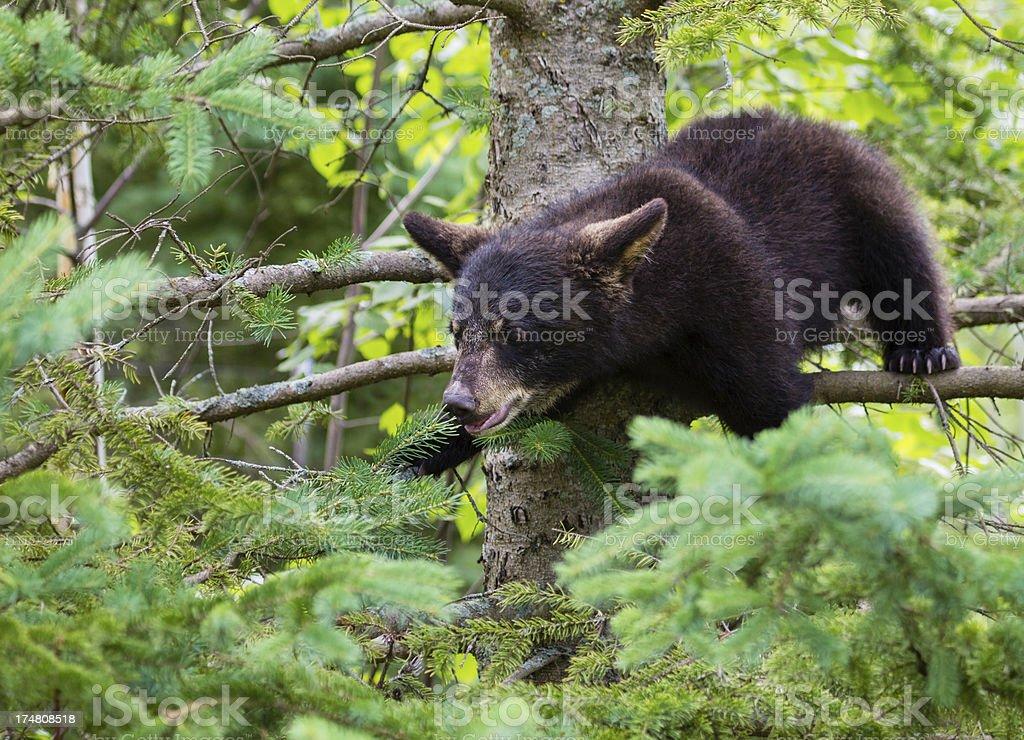Black Bear Cub in Tree royalty-free stock photo