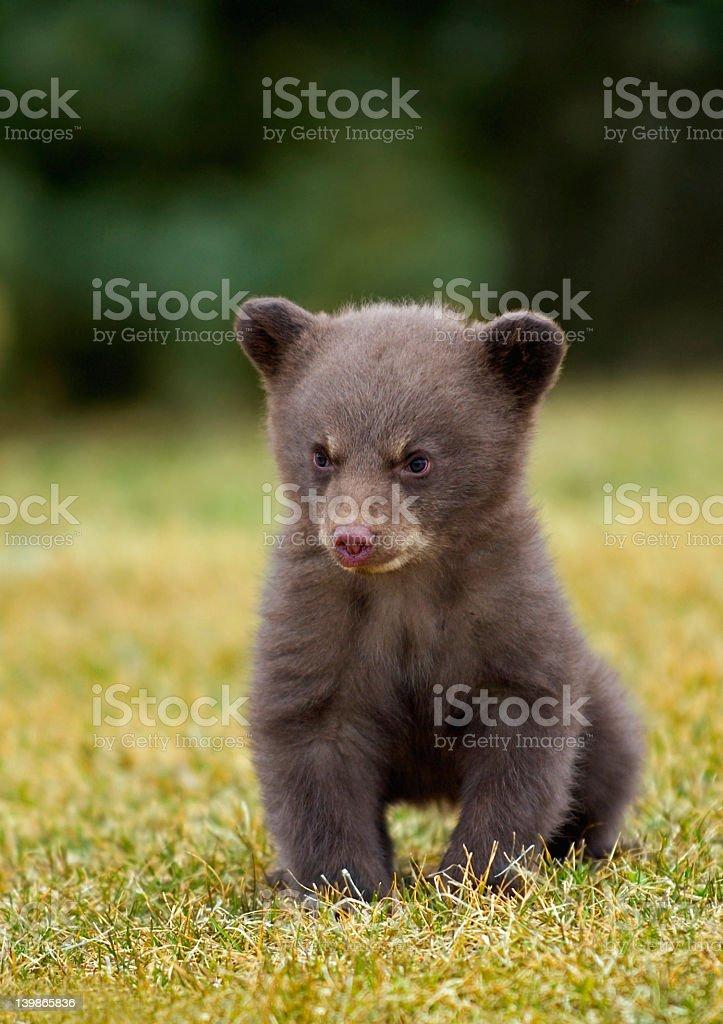 Black Bear (Ursus americanus) Cub stock photo