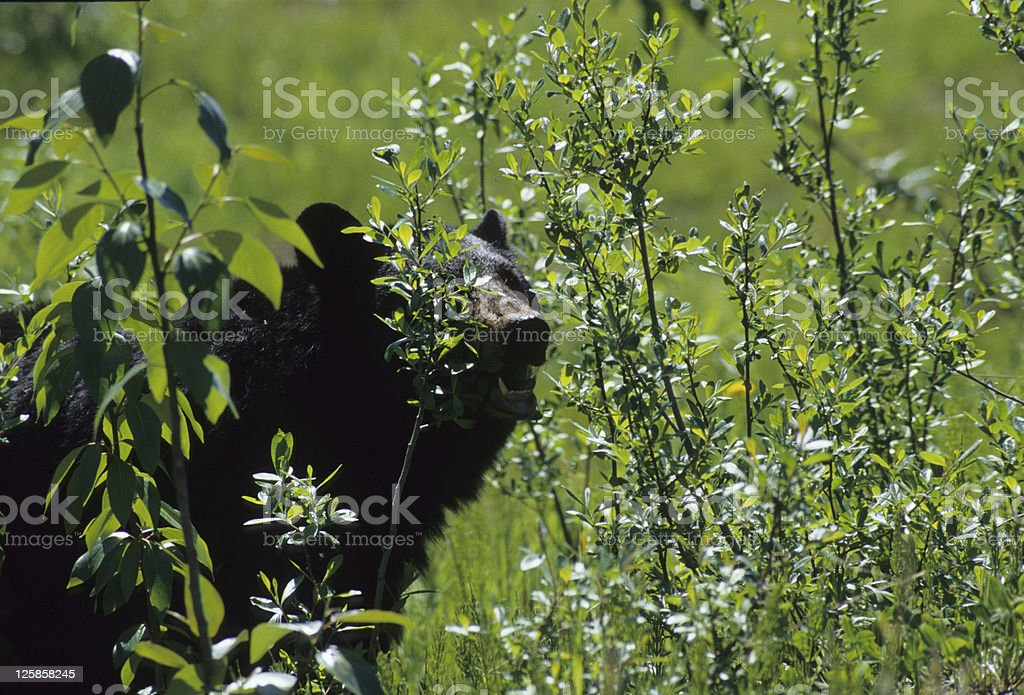 Black Bear eating leaves royalty-free stock photo