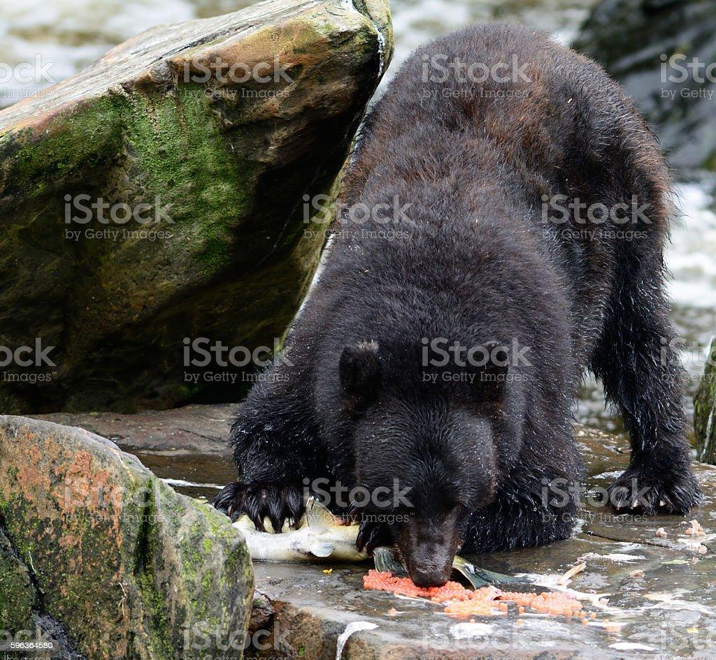 Black Bear in Alaska stock photo