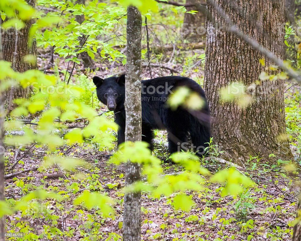 Black Bear in the Smokies stock photo
