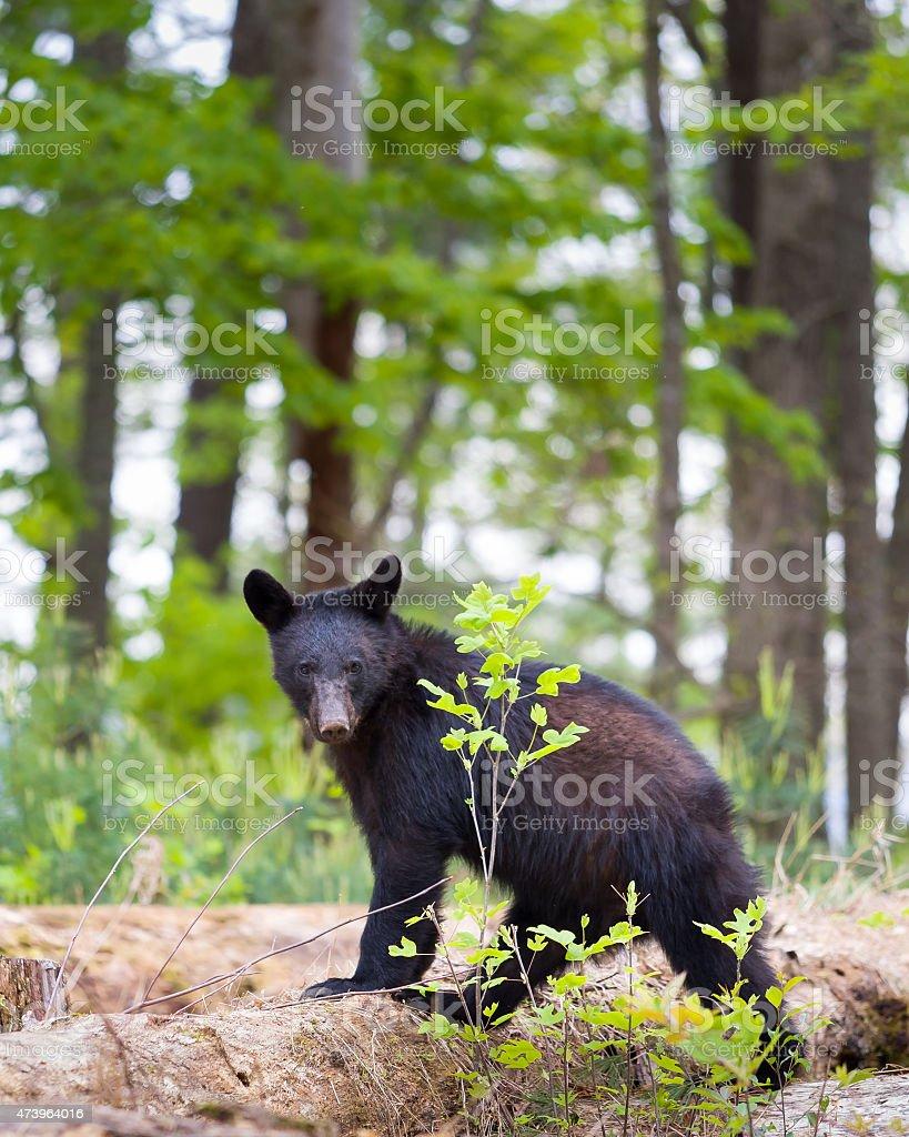 Black Bear in the Smokies stock photo