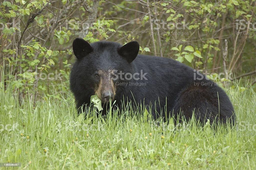 Black Bear in the Wild royalty-free stock photo