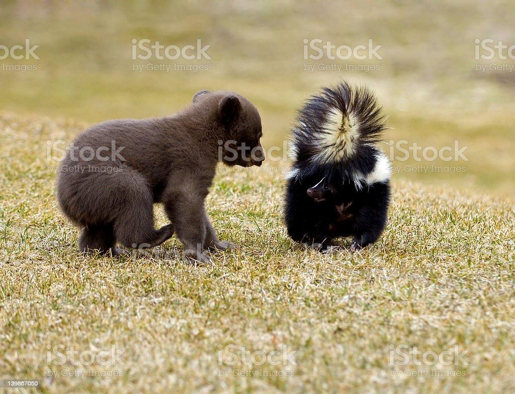 Black Bear (Ursus americanus) Meets Striped Skunk - motion blur stock photo
