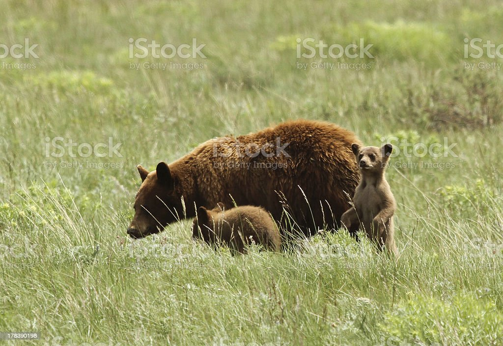 Black bear mother and cubs royalty-free stock photo