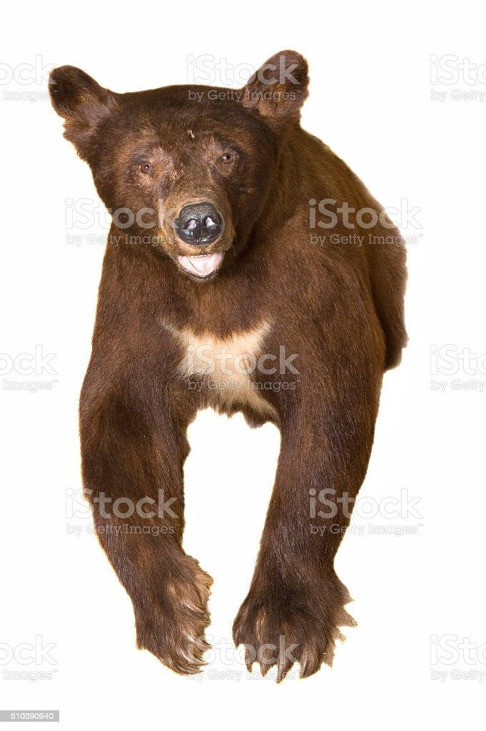 Black Bear mount stock photo