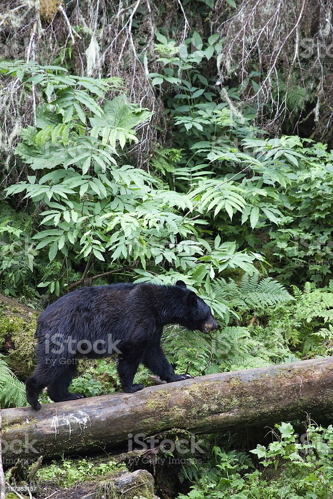 Black Bear on Log stock photo