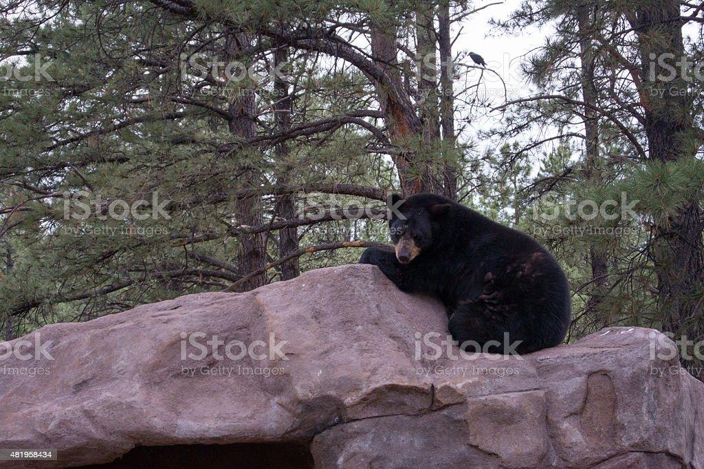 Orso nero su roccia vicino al trail foto stock royalty-free
