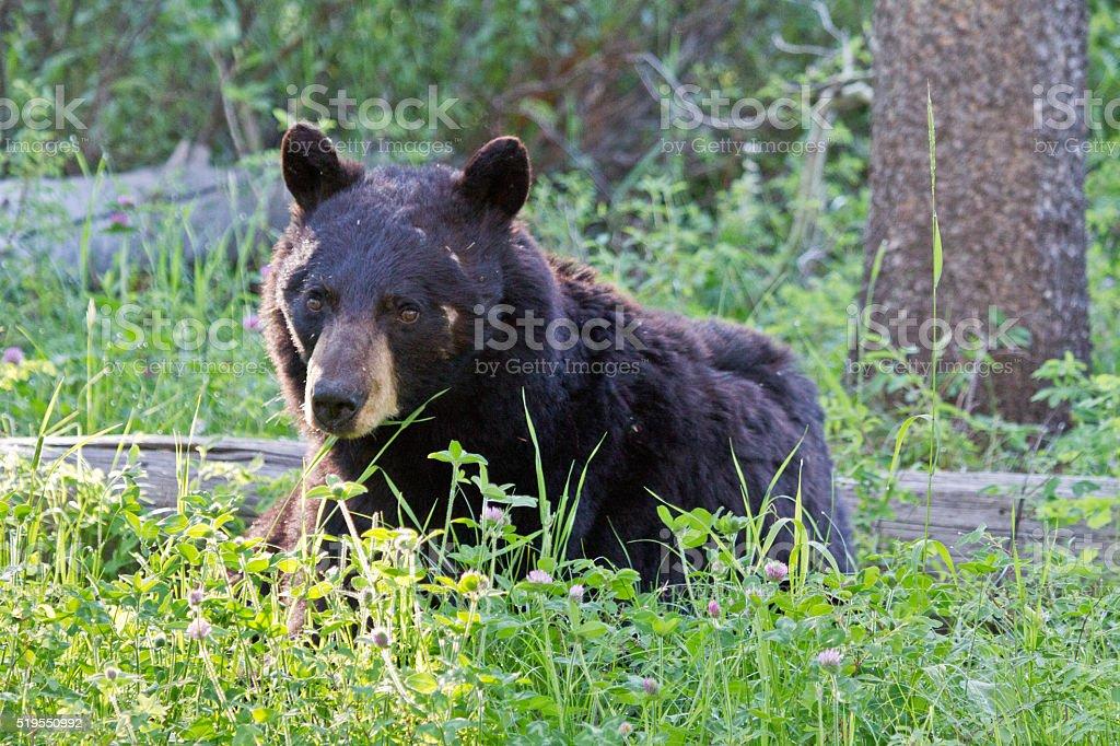 Black Bear stock photo