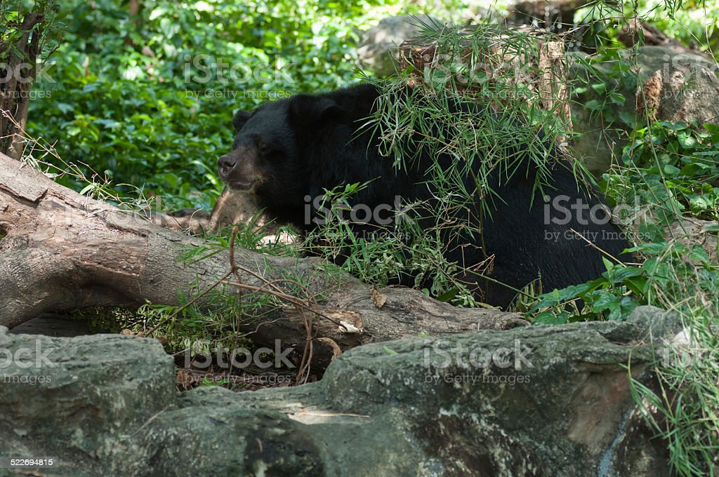 Black Bear royalty-free stock photo
