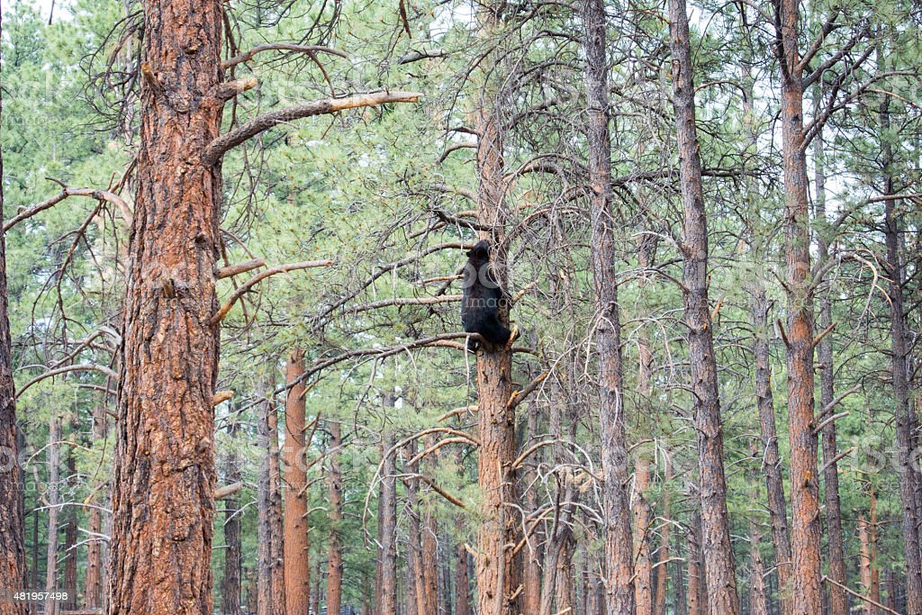 Orso nero seduto in pino foto stock royalty-free