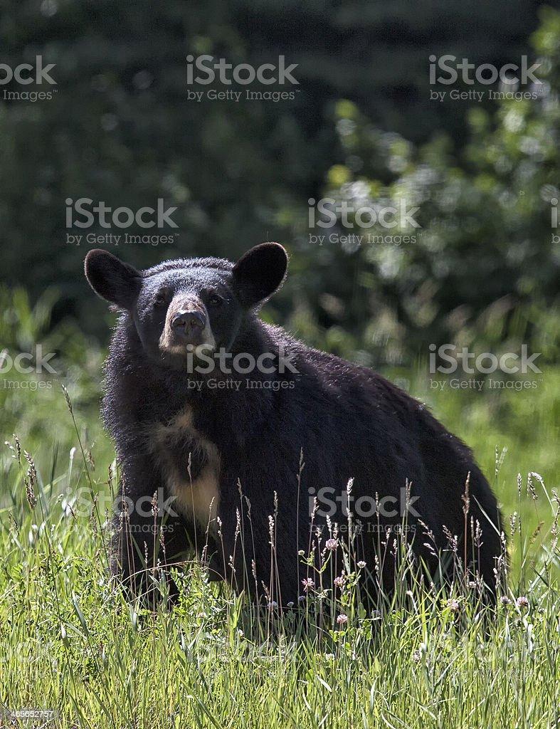Black Bear Sow royalty-free stock photo