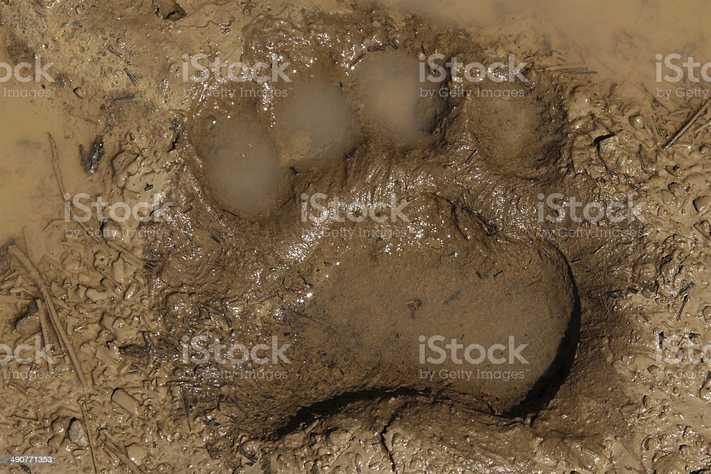 Black Bear Track stock photo