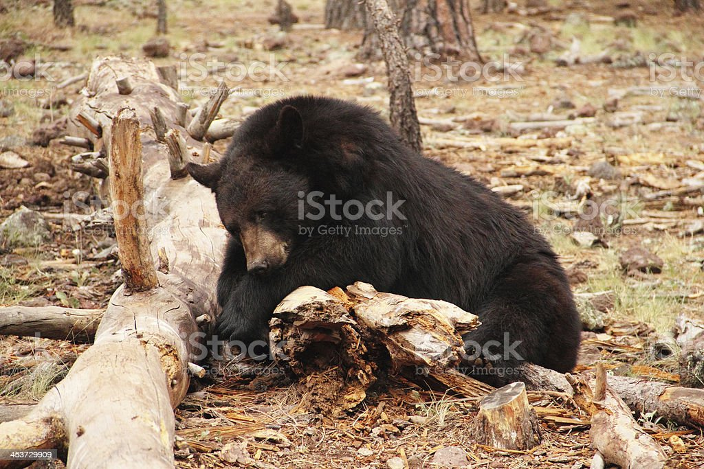Black Bear Ursus Americanus Animal royalty-free stock photo
