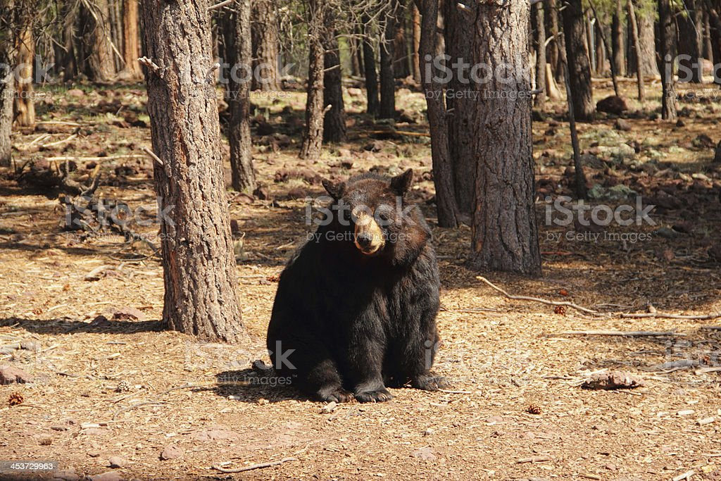 Black Bear Ursus Americanus Animal royalty-free stock photo