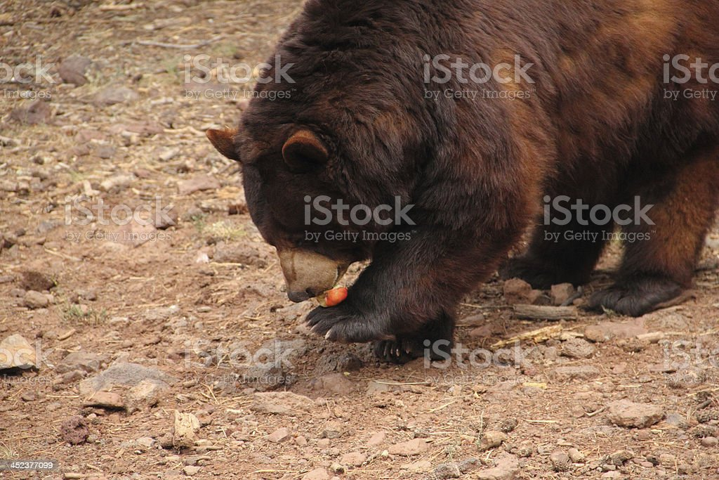 Black Bear Ursus Americanus Eating royalty-free stock photo