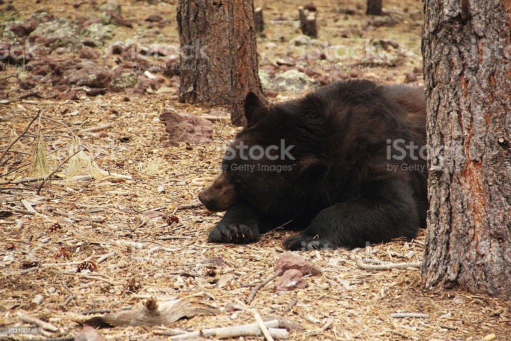 Black Bear Ursus Americanus Napping Sleeping. royalty-free stock photo