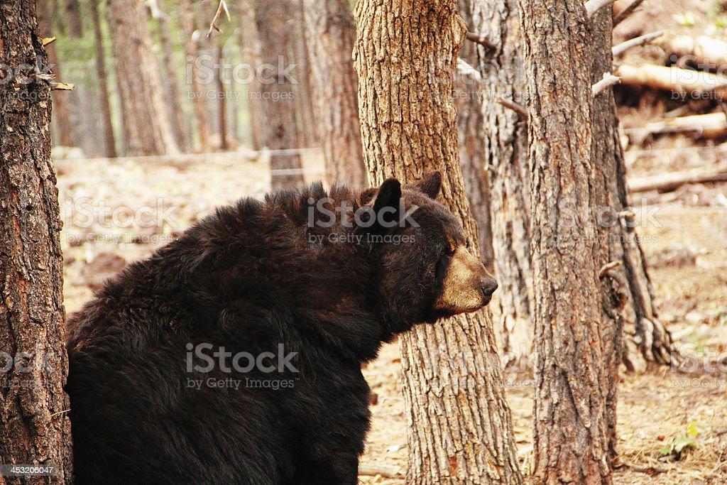 Black Bear Ursus Americanus royalty-free stock photo