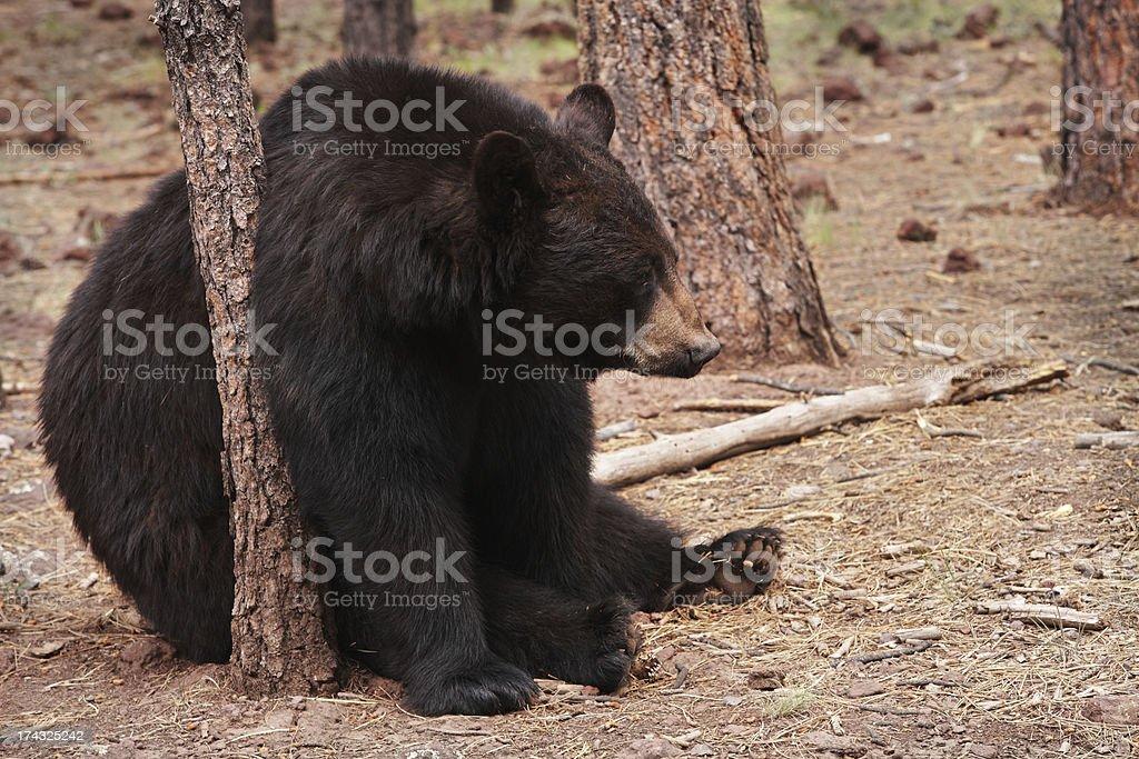 Black Bear Ursus americanus Rubbing Tree royalty-free stock photo