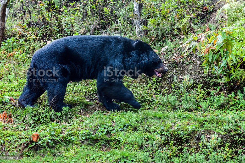 Black bear walking in the grass, Darjeeling, India, Asia. stock photo