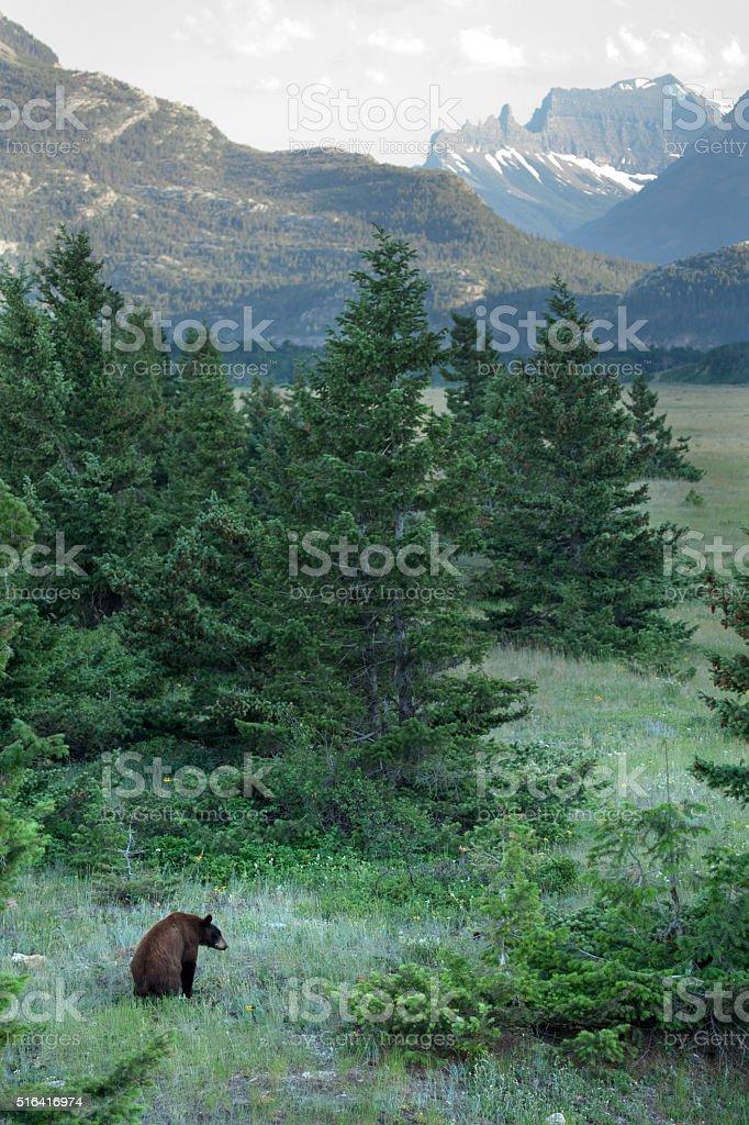 Black bear Waterton Lakes National Park Alberta Canada Citadel Peaks stock photo