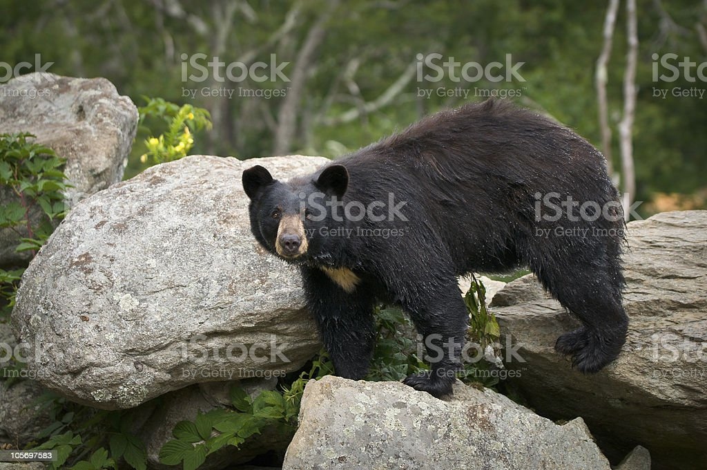 Black Bear Wildlife in North Carolina Mountains stock photo
