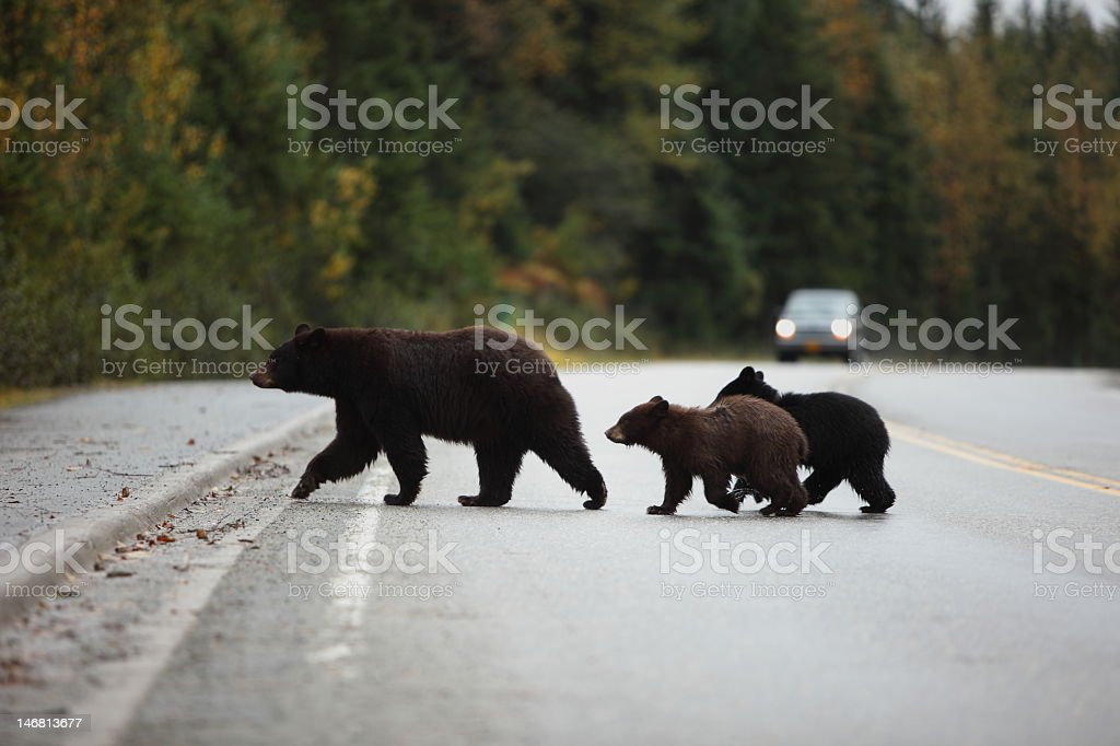 Black bear with Cubs crossing the road stock photo