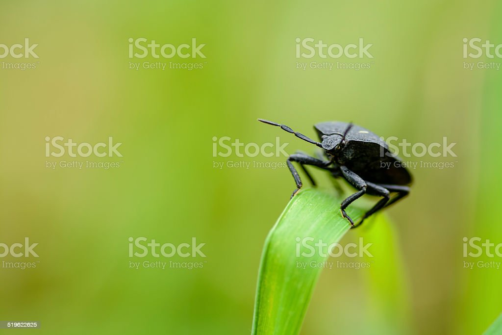 Black Beatle on Tall Grass stock photo