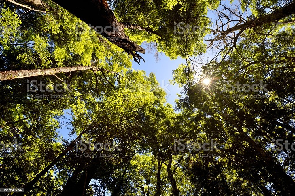 Black Beech Forest New Zealand stock photo