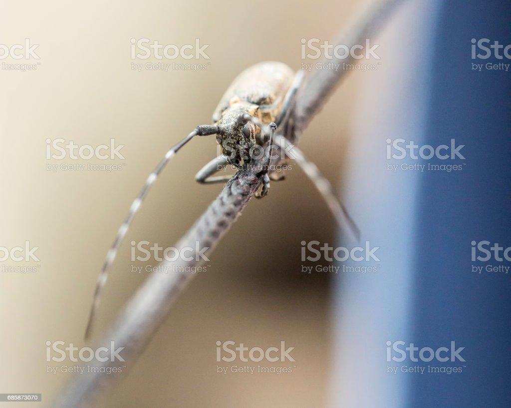 Black beetle barbel outdoors close up. stock photo