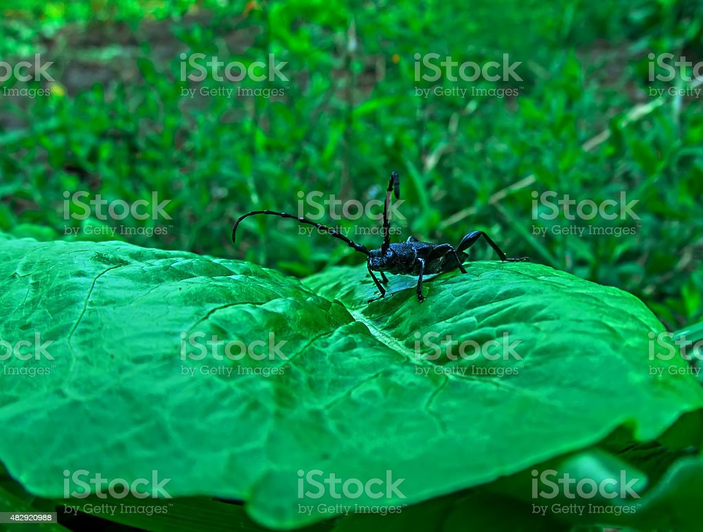 black beetle on a green leaf royalty-free stock photo