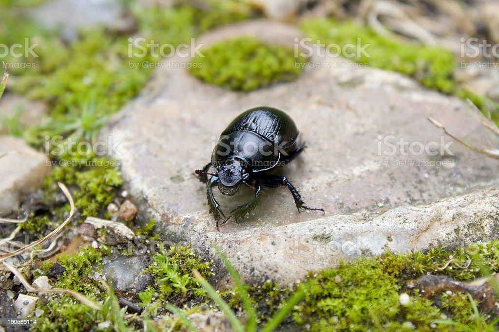 Black beetle on a stone stock photo
