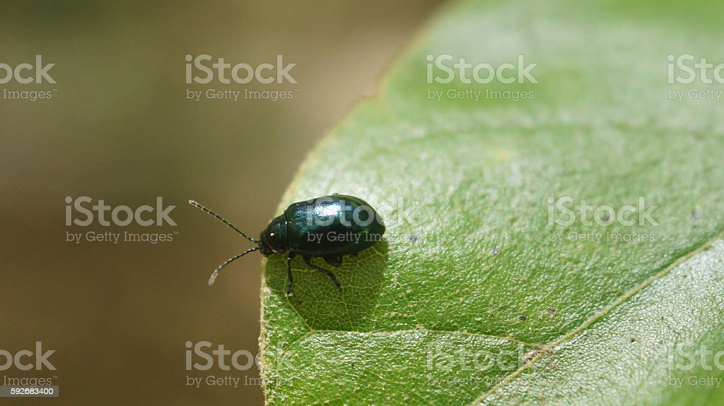 Black Beetle on Leaf royalty-free stock photo