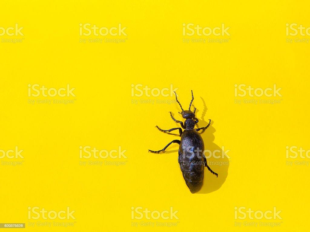 black beetle on yellow background stock photo