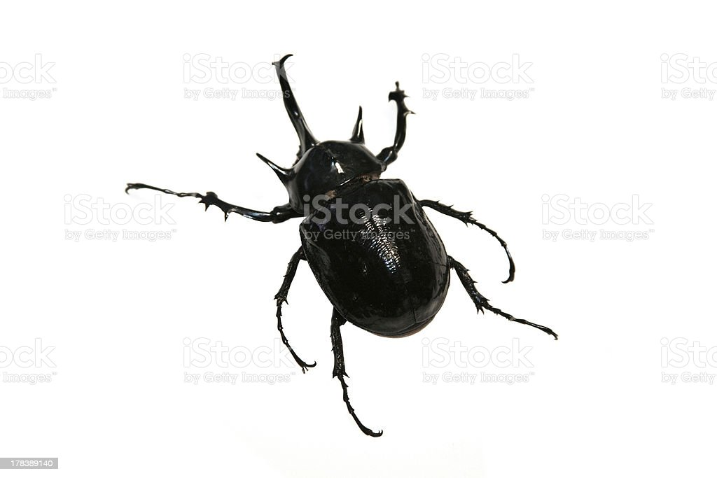 Black Beetle royalty-free stock photo