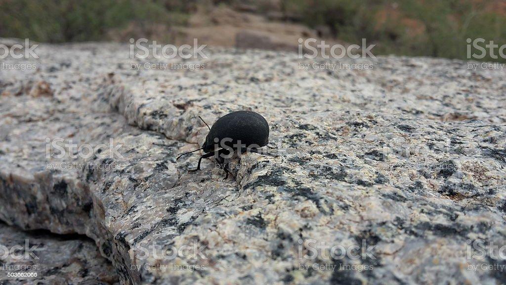 Black Beetle stock photo