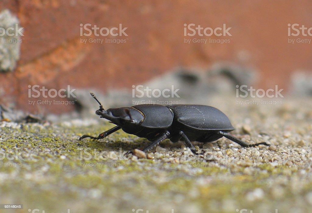 Black beetle royalty-free stock photo