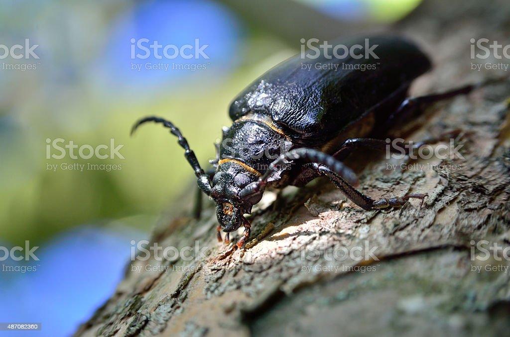 Black beetle woodcutter-tanner crawling on tree bark stock photo