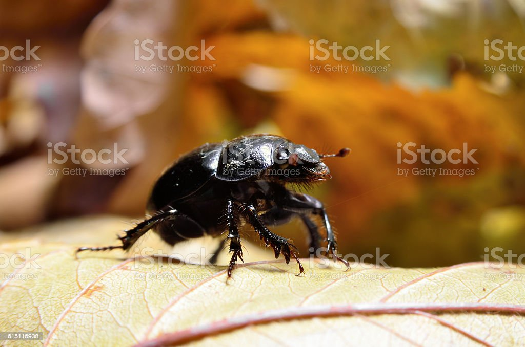 Black beetle woodcutter-tanner crawling on tree bark stock photo