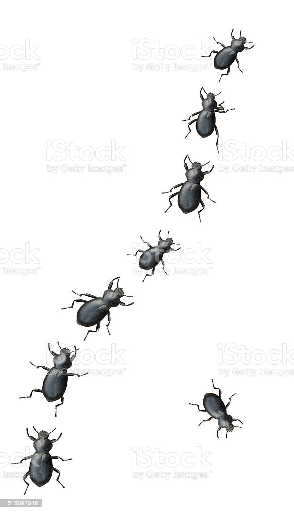 Black Beetles Marching In A Line stock photo