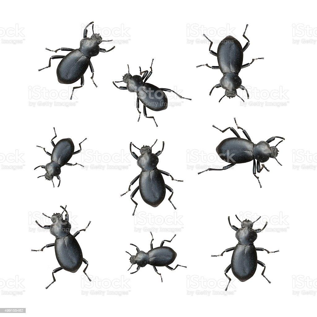 Black Beetles stock photo