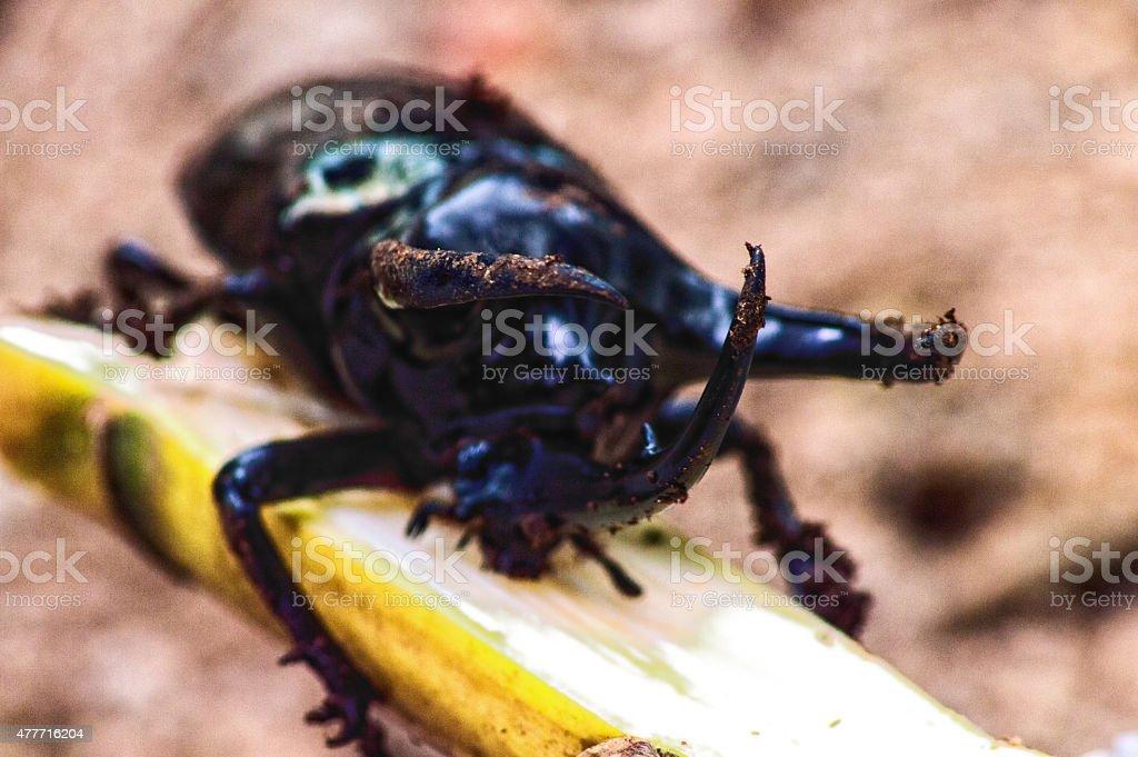 Black big beetle Chalcosoma atlas stock photo